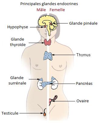 schéma des principales glandes